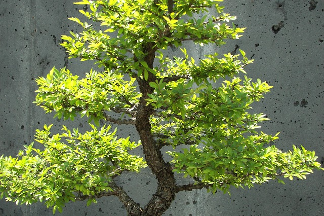 bonsai trees photo