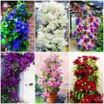 100pcs Climbing Clematis (not bulb) Clematis <b>florida</b> bonsai flower perennial flowering potted plants DIY home <b>garden</b>