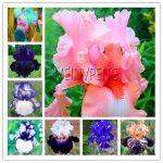 Hot Sale!Iris Plant,bonsai flower Bonsai Heirloom Iris Tectorum Perennial Flower Plants Rare palnt for home <b>garden</b>,100seed