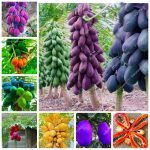 100% True Papaya bonsai Bonsai Tree Organic Carica Papaya bonsai For <b>Garden</b> Vegetable * Fruit Plants Sementes 50pcs/bag <b>Tropic</b> S