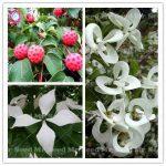 20PCS Delicious Fruit plant Flowering Dogwood plant Cornus <b>Florida</b> Urbiniana plant Perennial Ornamental Flower Plants For <b>Garden</b>