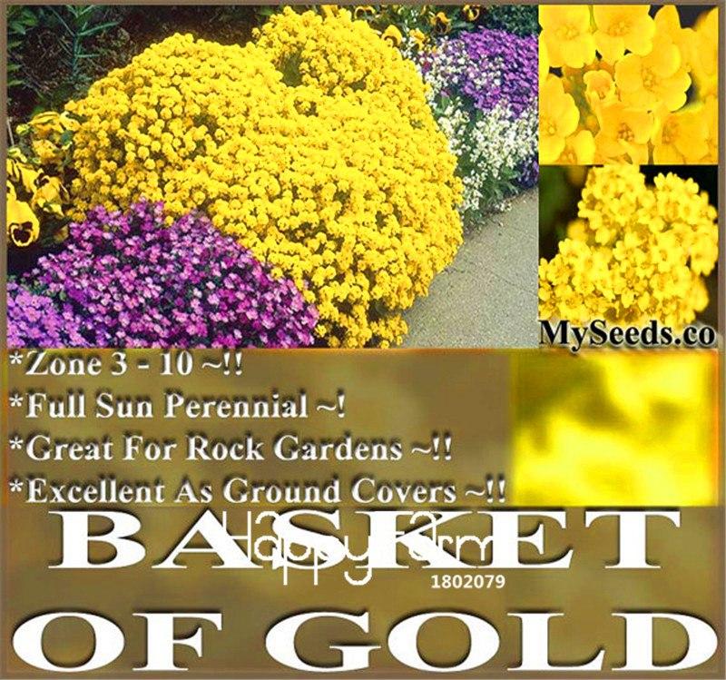 100 pcslot big salebasket of gold goldentuft bonsai great for basket of gold goldentuft bonsai great for rock garden perennial in cold hardy zone flower plants mightylinksfo