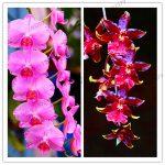Big Sale!100pcs Rare Cymbidium orchid Plants African Cymbidiums Plantas,Phalaenopsis bonsai flower Seedling for home <b>garden</b> pot