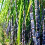 100pcs Sugar Cane bonsai Happy Farm Perennial Sugarcane Sementes Bonsai Plants Vegetable And Fruit bonsai For Home * <b>Garden</b> tree