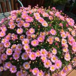 New 2018!100pcs/bag Rare Chrysanthemum Plantas Edible Bonsai flower Seedling Easy to Grow plant Plants for Home <b>Garden</b> Ground C