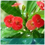 ZLKING Euphorbia Milii Hybrid Mix Middle 200 Crown Of Thorns Graptopetalum Rusbyi <b>Garden</b> Rare Flower Plants
