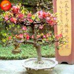 New 2018!100 PCS/Pack Begonia Flower Plants 100% True Malus Spectabilis <b>Garden</b> Potted Begonia Bonsai Plant Plantas,#6FCR67