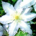 Best-Selling!Hot Selling Mix Clematis Plants Bonsai Flower Plantas DIY Home <b>Garden</b> 100 Pcs/Pack Clematis <b>florida</b>,#8GPM8W