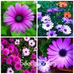 Promotion! 100 Pieces/Pack African Blue Eyed Daisy Plantas Osteospermum Plants <b>Garden</b> Plant Bonsai Mix Flower