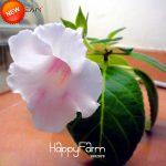 New 2018!Unique Gloxinia <b>Garden</b> Perennial Flowering Plants Sinningia Speciosa Bonsai Balcony,100 Pcs/Bag,#YP1RM0